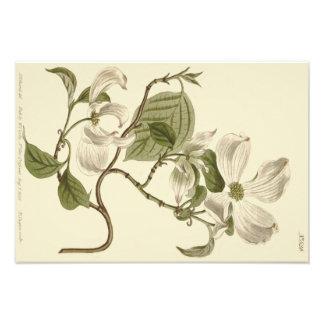 VitDogwood blommar illustrationen Fototryck