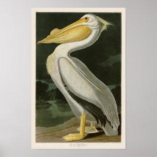 VitpelikanJohn James Audubon fåglar av Amerika Poster