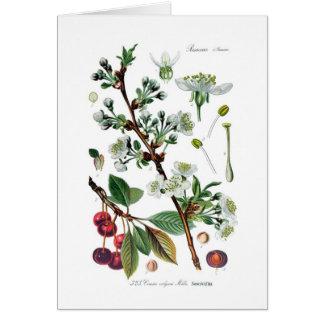 Vulgaris Cerasus (körsbäret) Hälsningskort