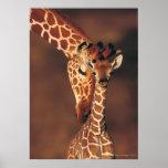 Vuxen giraff med kalven (Giraffacamelopardalis) Affischer
