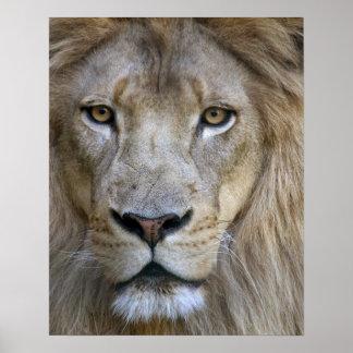 Vuxen manlig som är lejon på den Sacramento zooen, Poster