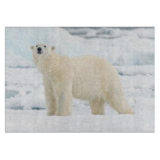 Vuxen polar björn i sökande av mat