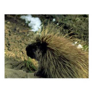 Vuxen Porcupine Vykort