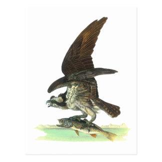 Vykort: Fiskgjuse - John Audubon Vykort