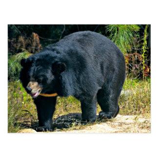 Vykort för asiatsvartbjörn