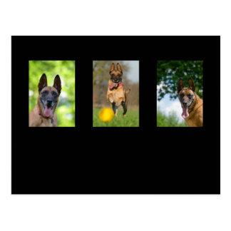 Vykort för foto för belgareMalinois hund älskare