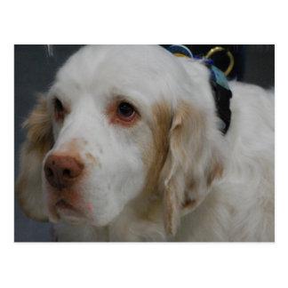 Vykort för hund för Clumber Spaniel