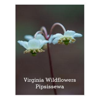Vykort för Pipsissewa vitVirginia vildblomma