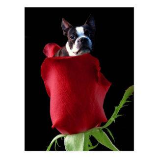 Vykort för röd rosBoston Terrier