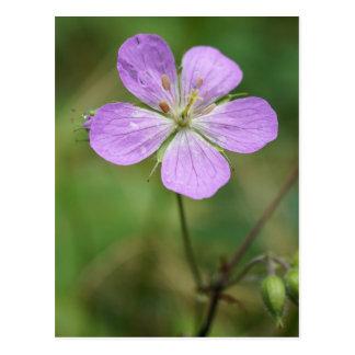 Vykort för vildblomma för vildpelargon rosa