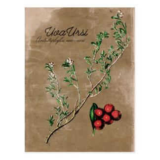 Vykort för vintagestilUva Ursi växt
