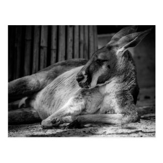 Vykort med att sova kängurun