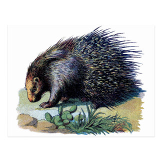 Vykort - Porcupine