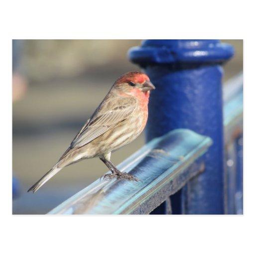 Vykort - röd Sparrow på blåttstaket