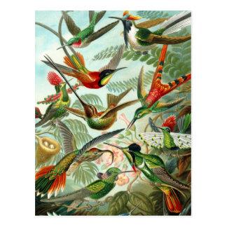 """Vykort:  Trochilidae (""""Hummingbirds"""") vid Haeckel Vykort"""
