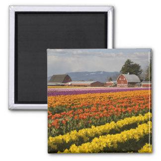 WA Skagit dal, tulpanfält i blom, på Magnet