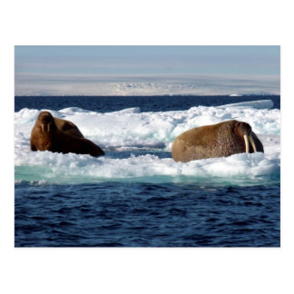 Walruses i Storoya, Svalbard Vykort