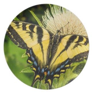 Western tiger Swallowtail på en thistle Tallrik