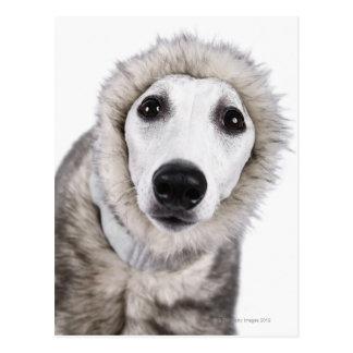 Whippet hund som ha på sig pälslaget, skjuten vykort
