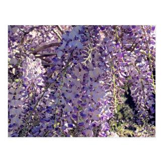 wisteria i vår vykort