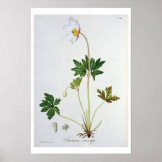 "Wood anemon från ""Phytographie Medicale"" vid Josep Poster"