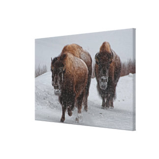 Yellowstone Bison Canvastryck