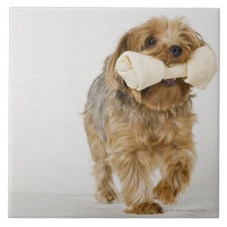 Yorkshire Terrier på att gå för vitbakgrund Kakelplatta