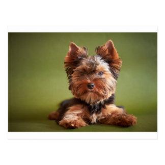 Yorkshire Terrier Vykort