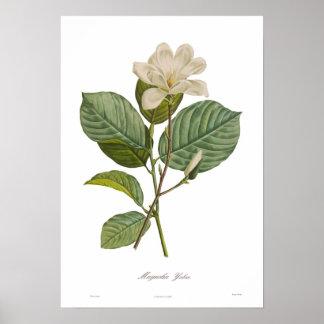 Yulan Magnolia Poster