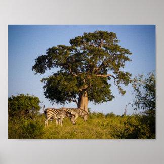 Zebror Botswana, afrika, affisch