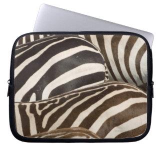 Zebror (Equusquagga) randar, Masai Mara, Laptopskydd