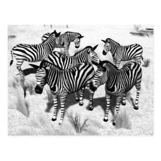 Zebror i svartvitt vykort