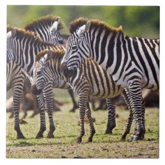Zebror som samlas i fälten av Maasaien Mara Kakelplatta
