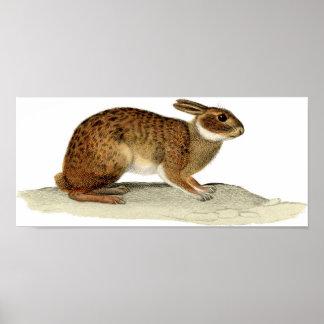 Zoologisk etsning för klassiker - kanin poster