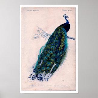 Zoologisk etsning för klassiker - påfågel poster